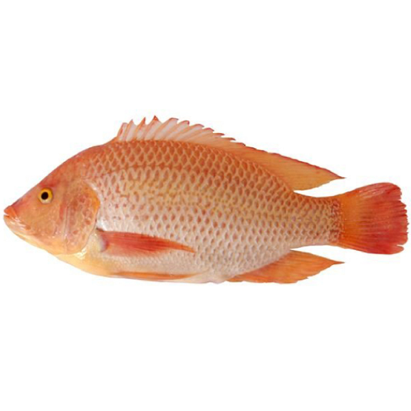 red_tilapia